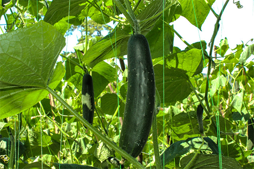 Quick-yield crops like cucumbers can be planted 2-3 times per season and produce upwards of five times more profit than a rust-plagued coffee crop.