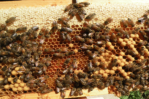 A typical brood pattern for honeybees. [photo: Erin Schneider]