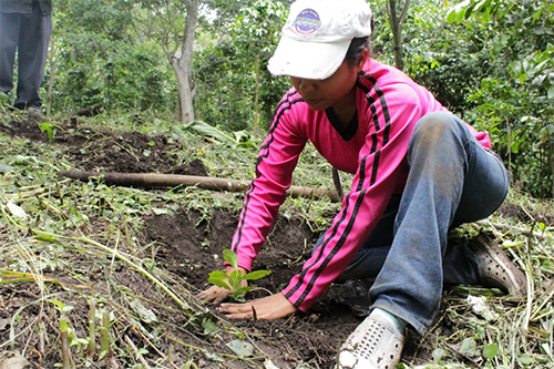 A worker-owner plants rust-resistant coffee seedlings at Las Lajas Cooperative.