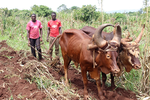 Herbert Kyamanywa (left) and an assistant plough a field in Kahara.