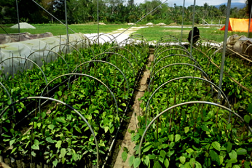A pepper nursery in Papua, Indonesia supported by NCBA CLUSA's previous project in the region. The new project works to build off its success in public-private partnerships.