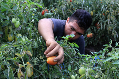 Growing tomatoes out of season is creating jobs and even keeping families safe in El Salvador.